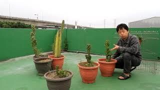 仙人掌的盾介殼蟲防治3個月後【2019/02/28】