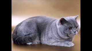 Британская короткошерстная кошка. Порода для бизнесменов