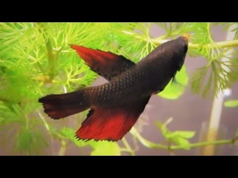Female Betta Fish Information Care & Tank Set Up Guide