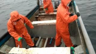 Pesca de sierra en Lebu, bote El Maty. thumbnail