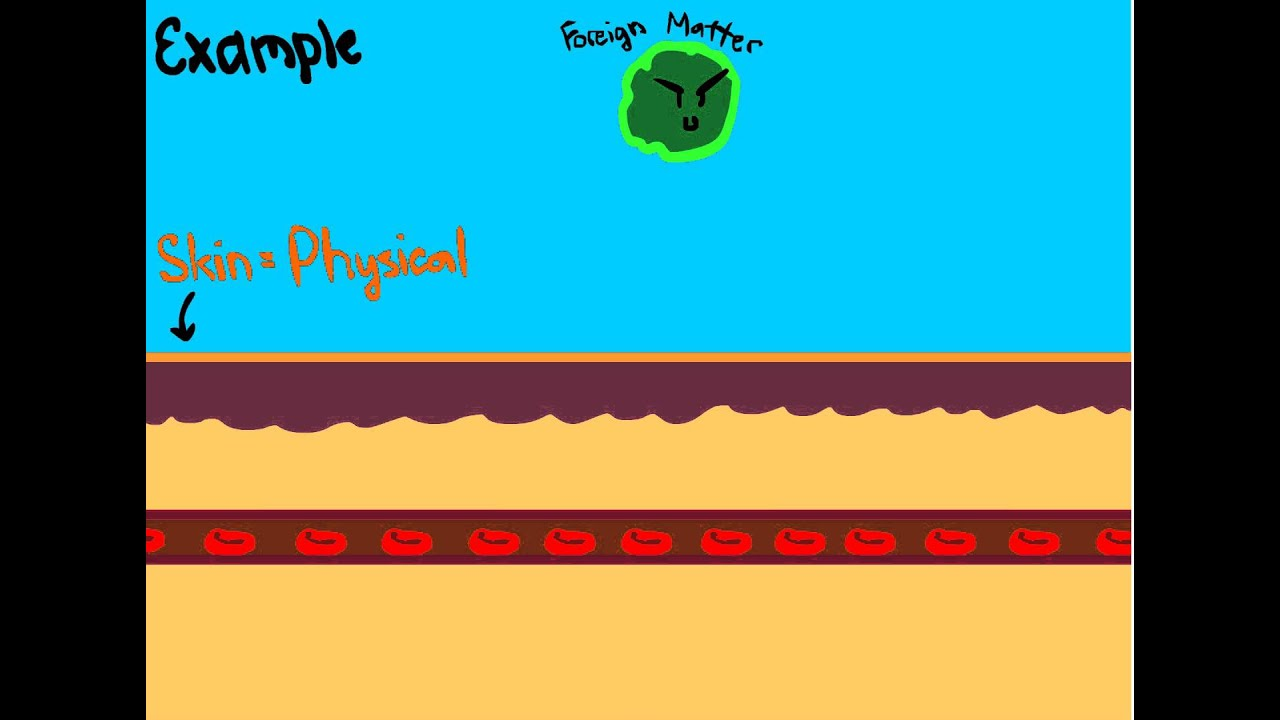 3 lines of defense in immune system animation only youtube