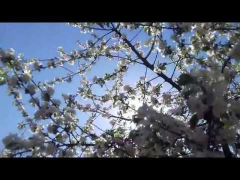"""Цветет  яблоня   """"Снежный  Кальвиль"""""""