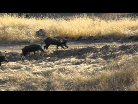 Wild Hog Hunting In California (Headshot)