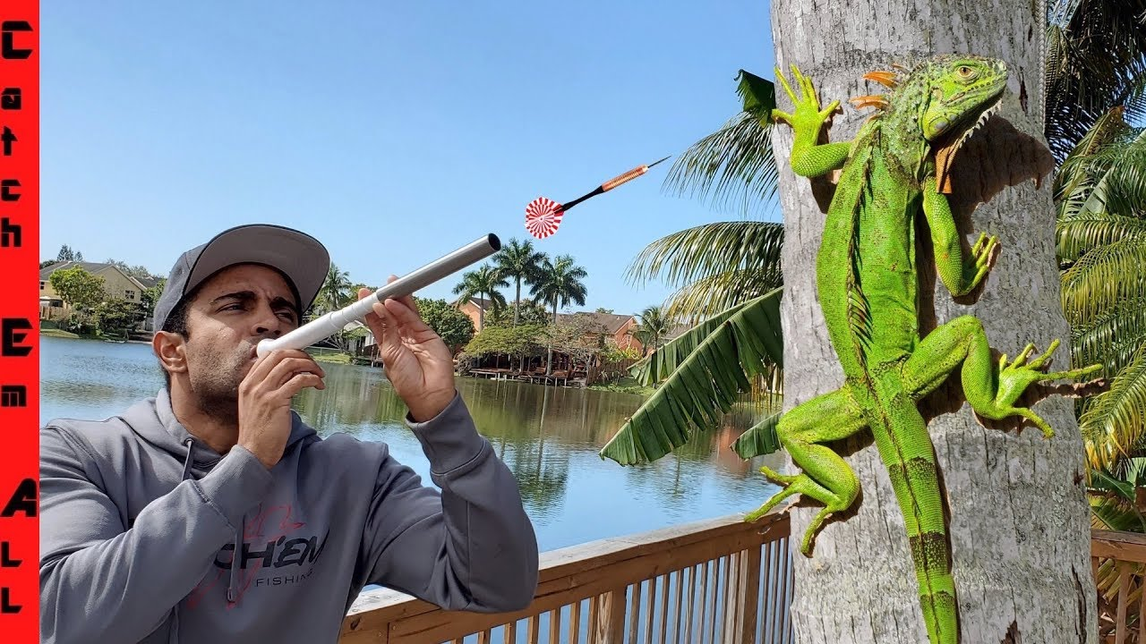 Download BLOW DARTS for IGUANA CATCHING! **Iguanas Falling from Trees in Cold Weather**