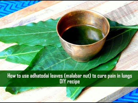 How To Use Justicia Adhatoda Leaves To Cure Pain In Lungs - Home Remedy | Bowl Of Herbs