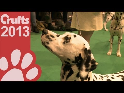 Bedlington Terrier Crufts 2013 Dalmatian show video |...