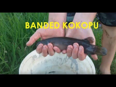 ENDANGERED Kokopu -  Kids Fishing - Native NZ Fish