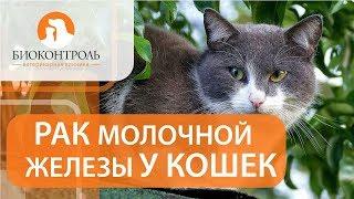 Опухоль молочной железы у кошки. 😿 Диагностика и лечение опухоли молочной железы у кошки.