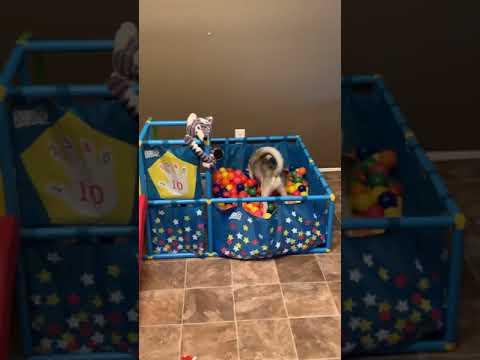 Puppies in ball pit FUNNY Alaskan Klee Kai - Miniature Husky Dogs