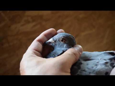 Marathon strain pigeons – Young birds for sale !