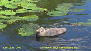 Mating Swans Diary-16 - 2019 thumbnail