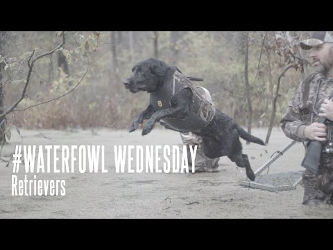Waterfowl Wednesday: Waterfowl Hunting Retrievers