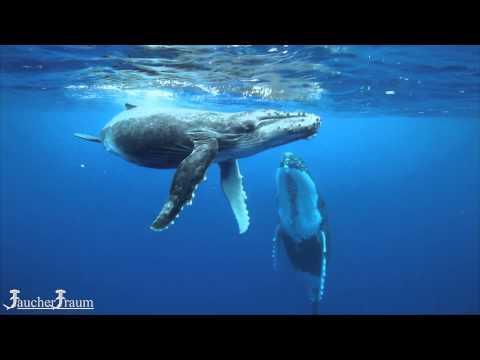 Schnorcheln mit Buckelwalen in Moorea, Französisch Polynesien - Sondertour von Tauchertraum