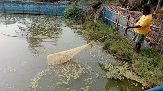 Net Fishing || Catching Fish With Net|| Net fishing Method in Village