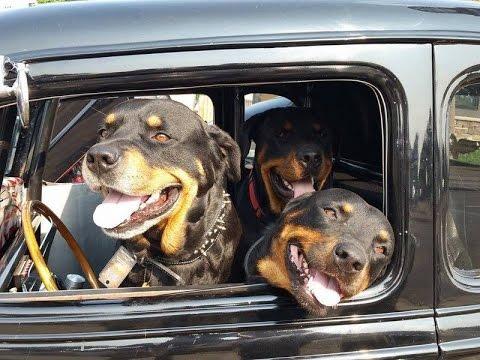 3 Rescued Rottweilers Englewood Colorado