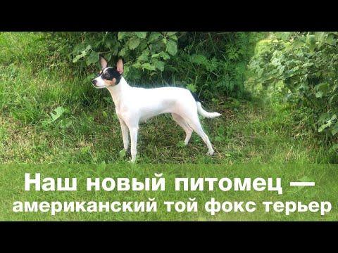 Наш новый питомец - американский той-фокстерьер / Сказочная собака!