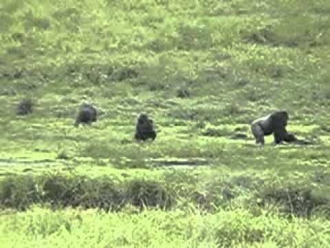 Gorilla group in Langoué bai, Gabon