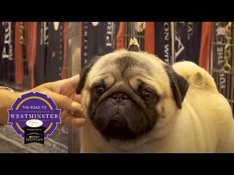 Road to Westminster (RTW): Best of Breed Minute Pug