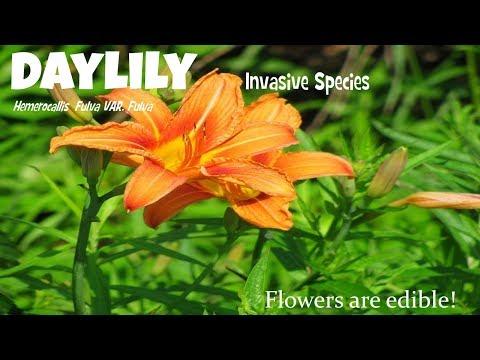 ⟹ день лилии, Hemerocallis fulva, инвазивные виды, но красивые и съедобные цветы