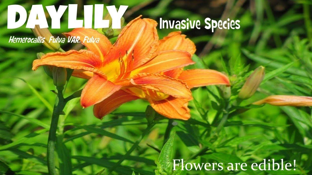 daylily hemerocallis fulva var fulva invasive species youtube heirloomreview daylily plant izmirmasajfo