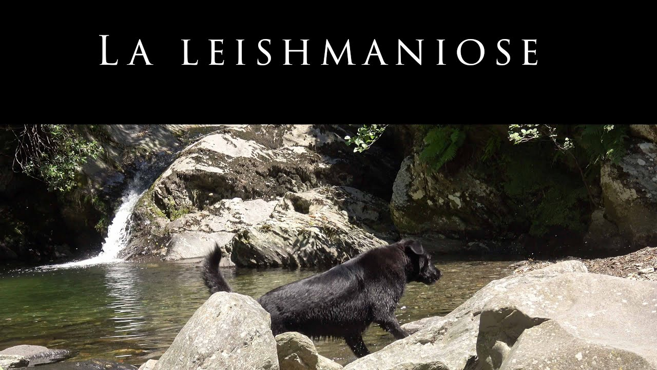 La Leishmaniose - Dr. Bascon (30)