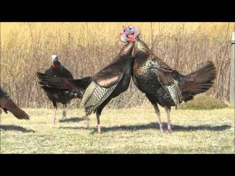 Wild Turkey Fight