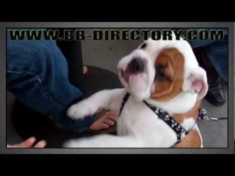 Bulldog puppy , I AM Bronson 3 month bulldog puppy