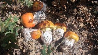 Amanita Caesarea / Boletus Aereus