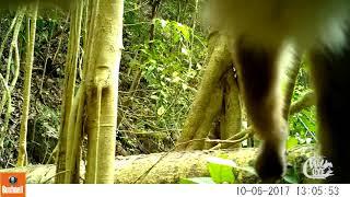 Capuchino Ecuatoriano / Ecuadorian Capuchin Monkey (Cebus aequatorialis)