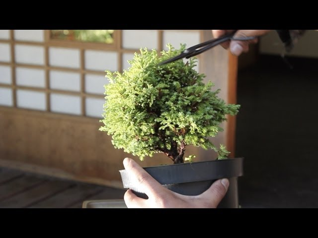 How To Make A Bonsai Tree From A Starter Kit Youtube