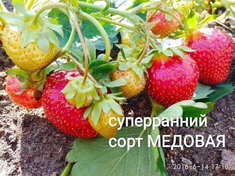 СУПЕР РАННИЙ сорт клубники МЕДОВАЯ. Сладкая как мёд!!!