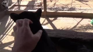 Black Leopard grooming me