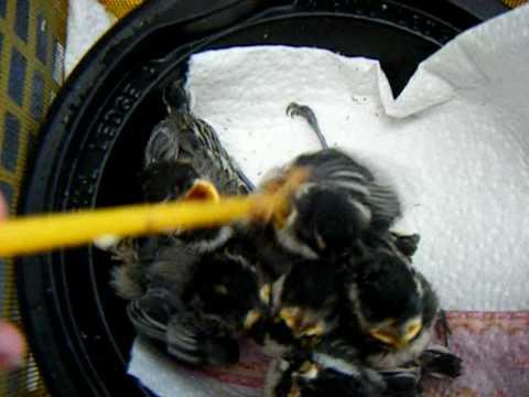 Black Capped Chickadees -feeding