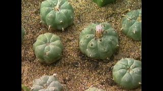 Discovery Channel Mexico Plant Medicines and the Origins of Religions short