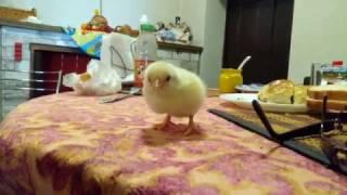 Как отличить курицу от петуха!