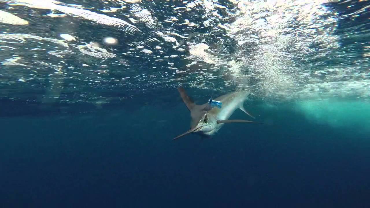 Underwater White Marlin catch & release aboard Fish ...