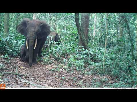 Forest Elephant Family captured on Camera Traps in Gabon