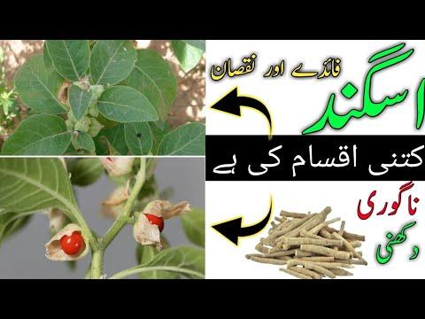 Download How to use Asgandh Nagori || Ashwagandha Benefits in Urdu || Ashwagandha ky fayde || Asgandh nagori
