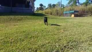 Rottie Nation Rottweiler Rescue Billy