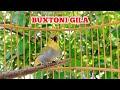 Pleci Buxtoni Gacor Buka Paruh Nembak Searah Kicau Pidong  Mp3 - Mp4 Download