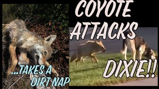 Coyote attacks during daytime : living with predators!!