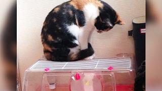 毎日ハムスターを見つめていた猫 ある日、とんでもない行動に…! 再生回...