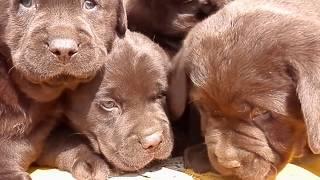 Щенки лабрадора шоколадного окраса. Chocolate Labrador puppies.