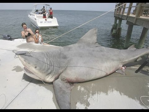Download The 9 Biggest Sharks Ever Caught