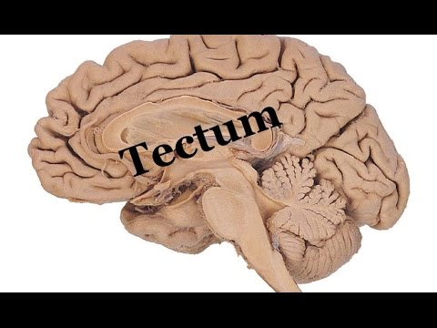 Medical Video Lecture, PHYSIOLOGY: Tectum ( Superior & inferior ...