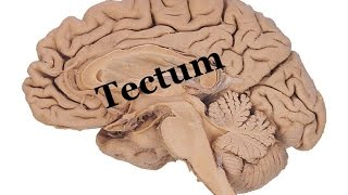 Medical Video Lecture, PHYSIOLOGY: Tectum ( Superior & inferior Colliculus) of midbrain
