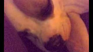 Continental Bulldog Zelda Sleep !!!!!!