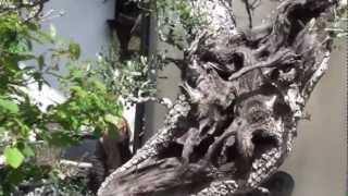 A walk around Walter Palls Bonsai garden