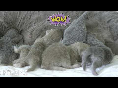 Новорожденные британские котята (Litter- R2)