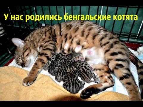 У нас родились бенгальские котята) Но не все хорошо(